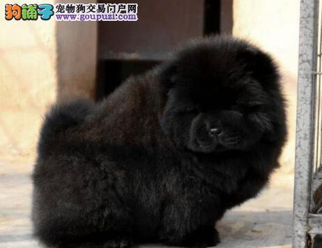 转让极品紫舌松狮犬 广州地区有实体店可上门考察