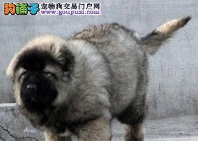 直销高加索幼犬,品质优良血统纯正,全国送货上门