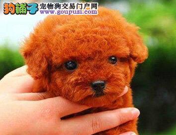 大型狗场直销可爱韩国血统泰迪犬 可来广州犬舍购买