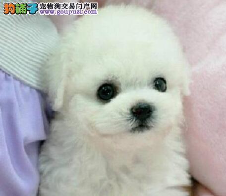 超级可爱卷毛广州比熊犬直销价格出售 可办理血统证书
