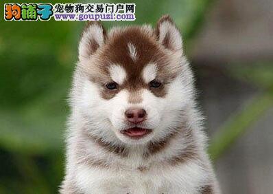 广州本地狗场出售精品哈士奇 保证品质已做好疫苗驱虫