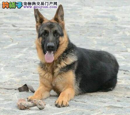 纯种德牧 德国牧羊犬幼犬 黑背 德国黑贝公狗北京出售