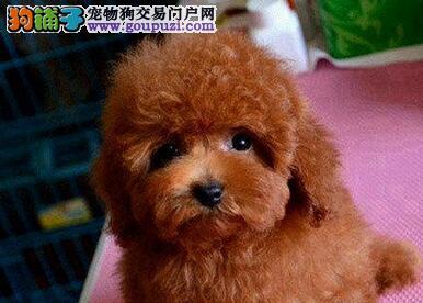 专业犬舍促销贵宾犬呼和浩特地区购犬可赠送狗粮