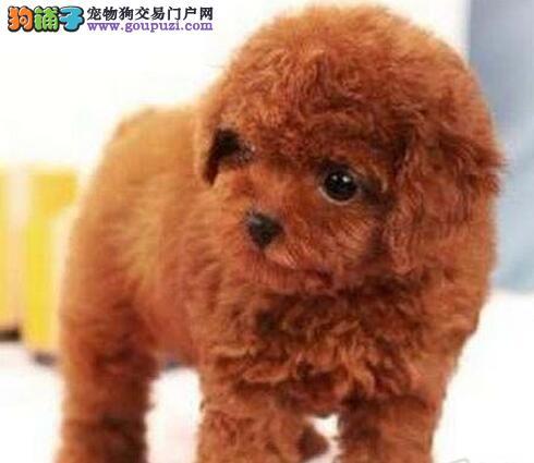 公母都有的南昌贵宾犬找新主人 签订完善售后协议