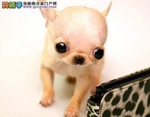 深圳大型犬业出售超小体苹果头吉娃娃多只可选