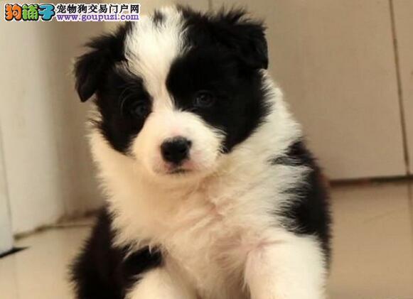 大型狗场热销顶级优秀边境牧羊犬 深圳周边可免费送狗