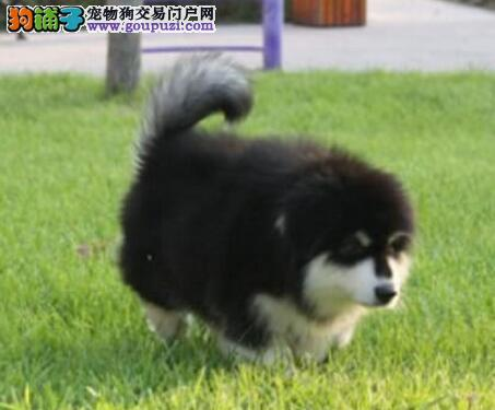 柳州实体狗场出售桃脸阿拉斯加犬 质保三年完善售后