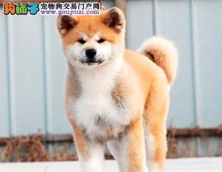 常年低价直销青岛秋田犬 实物拍摄 可签合同 放心选购