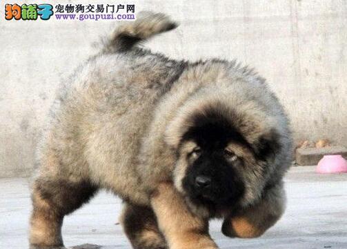 原生态血系高大威猛的青岛高加索犬出售 均有血统证书