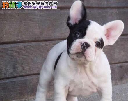 法国斗牛犬天津CKU认证犬舍自繁自销多种血统供选购