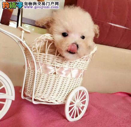 重庆出售美丽动人贵宾犬保健康保纯种喜欢的联系我
