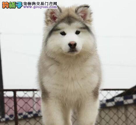 出售巨型熊版济南阿拉斯加幼犬 憨厚可爱 放心选购