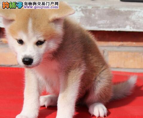 出售纯种健康好品相的广州秋田犬 多只幼犬供大家选购