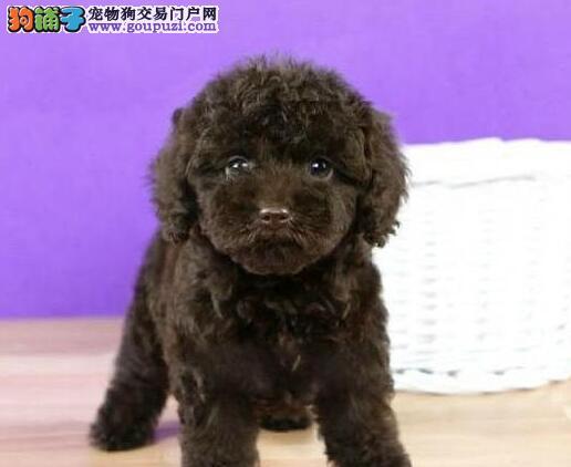 赛级品相贵宾犬幼犬低价出售微信咨询看狗狗照片