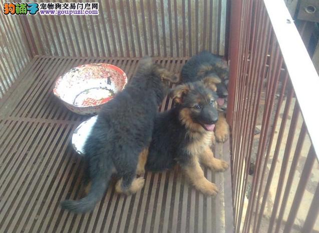 红果买狼犬小狗 红果卖狼狗幼犬 红果出售纯种狼狗犬