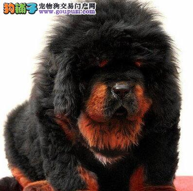 犬舍促销精品纯种毛量足的秦皇岛藏獒签售后协议