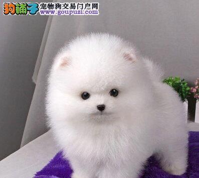 出售正宗血统优秀的博美犬可直接视频挑选