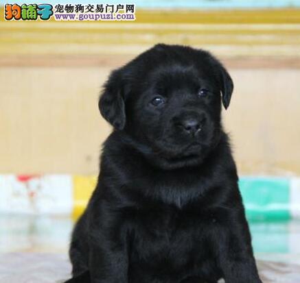 顶级拉布拉多幼犬出售,黑色,乳黄色,公母都有