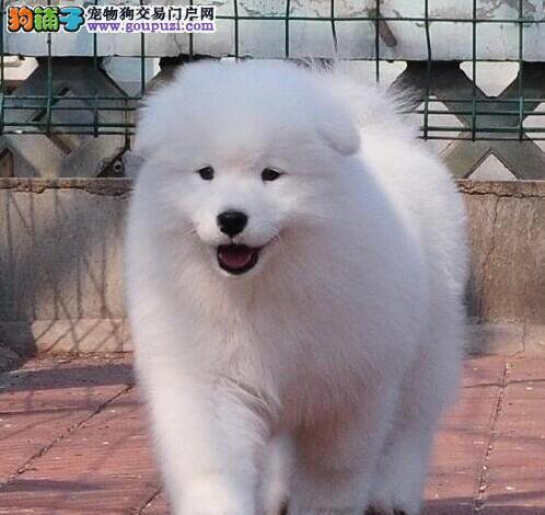 出售多只优秀的萨摩耶衡阳可上门购犬可签协议