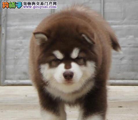 出售郑州阿拉斯加犬健康养殖疫苗齐全均有三证保障