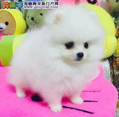 养殖基地优惠特卖好品质博美犬台州地区购犬有礼品