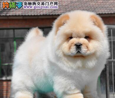 CKU认证繁殖基地 纯种松狮出售 黑白黄都有可视频看狗