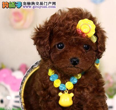 出售纯种泰迪幼犬韩国贵宾幼犬出售包健康