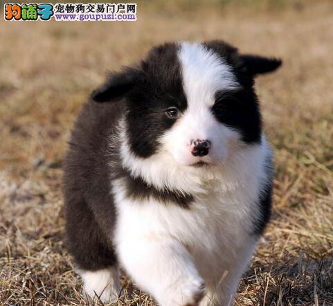 自家犬舍出售边境牧羊犬南宁附近地区可上门看狗