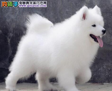 济南专业犬舍热销纯种健康萨摩耶颜色雪白可见父母