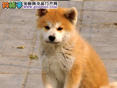 纯种日系秋田犬保证该成活 三年质保 你还在等什么