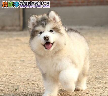 贵州阿拉斯加 贵州阿拉犬 贵州雪橇犬 贵州大型犬阿拉