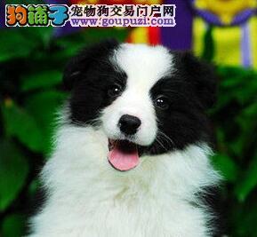 广州售纯种边境牧羊犬 边牧幼犬公母全有欢迎挑选