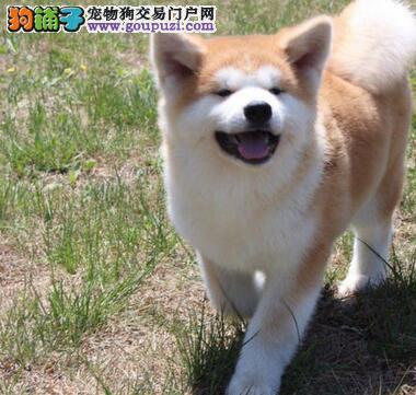 出售忠实温顺精品的南昌秋田幼犬 24小时可电话咨询