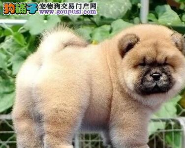 狗场转让纯种健康宁波松狮犬 大毛量品质保证