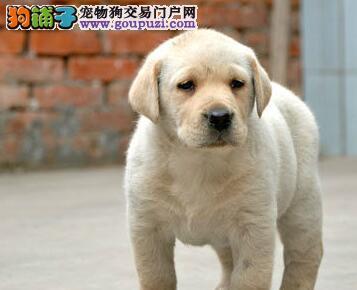 专业养殖基地直销纯种宁波拉布拉多犬保证健康签协议