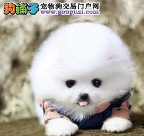哈多利球形的大庆博美犬热卖中 超低价格超高品质