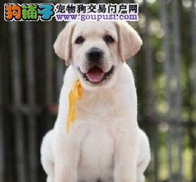 纯种拉登血系北京拉布拉多犬热销 保证健康和纯种