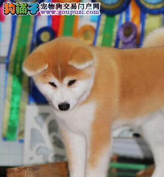 多种颜色的赛级秋田犬幼犬寻找主人CKU认证绝对信誉保障
