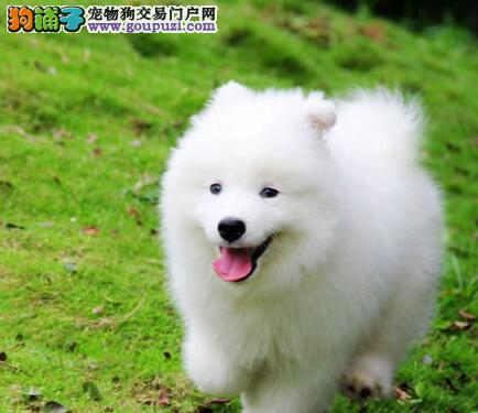 杭州繁殖场直销出售萨摩耶宝宝 喜欢的朋友上门选购哦