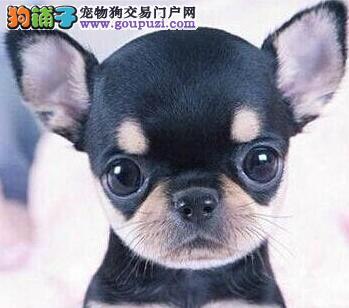 温州正规犬舍直销超小体吉娃娃幼犬 质保三年包退换
