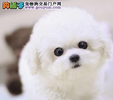 犬舍热销纯种宁波比熊犬公母都有可见狗狗父母