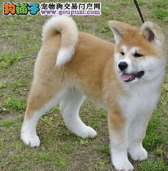 纯种日系秋田幼犬健康有保疫苗齐全