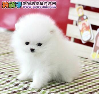 CKU认证犬舍 专业出售极品 博美犬幼犬微信咨询视频看狗