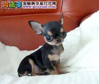 北京犬业联盟担保吉娃娃幼犬保证健康纯种