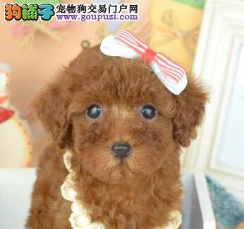 国际注册犬舍 出售极品赛级贵宾犬幼犬欢迎上门选购价格公道