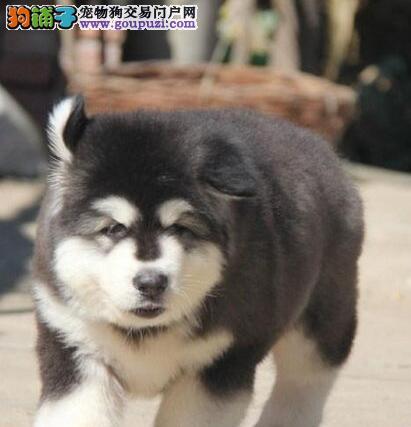 玉溪市出售纯种十字脸阿拉斯加雪橇犬品质保证半年健康