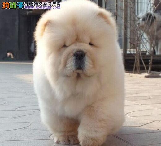 出售肉嘴紫舌头憨厚可爱的松狮犬 仅限绍兴朋友选购