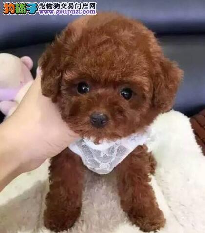 信誉犬业转让韩系宁波泰迪犬 品质优秀可赠送狗狗用品