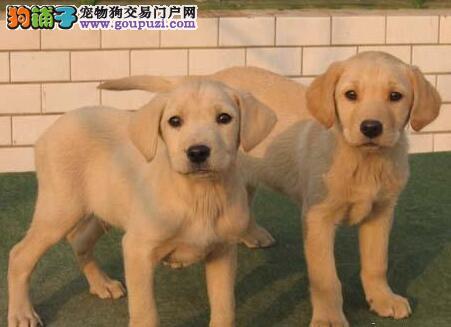 马鞍山CKU认证犬舍出售高品质拉布拉多欢迎上门选购价格公道