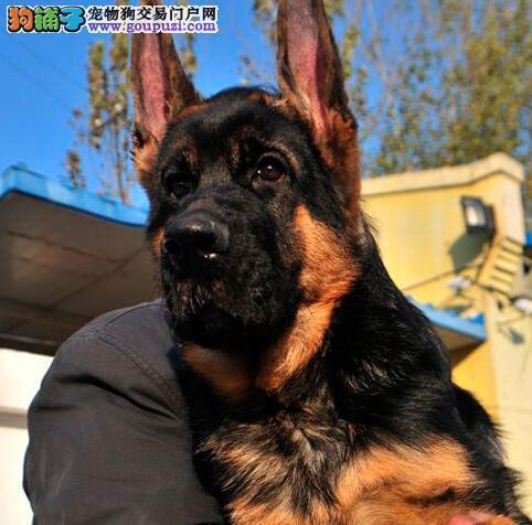 精品高品质德国牧羊犬幼犬热卖中签订保障协议
